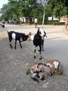 lumbini goats2